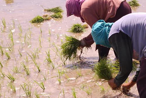 Philippino-rice-farmer