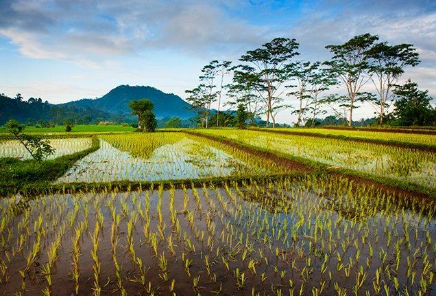Bali-rice-fields-636x4311