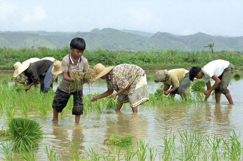 Young-old-filipinos-working-rice-field-philippines-island-luzon-kalinga-province-countryside-outside-tabuk-city-men-53039849